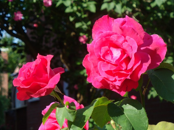 photo-131_roses.jpg