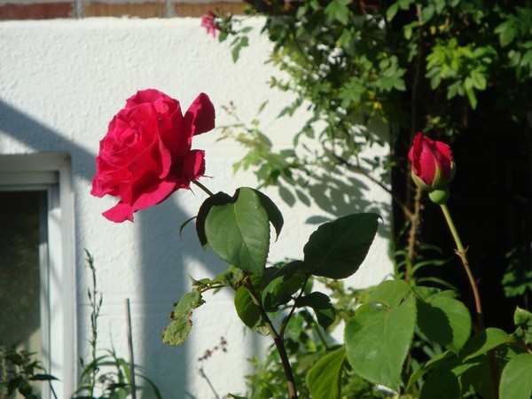 photo-132_roses.jpg