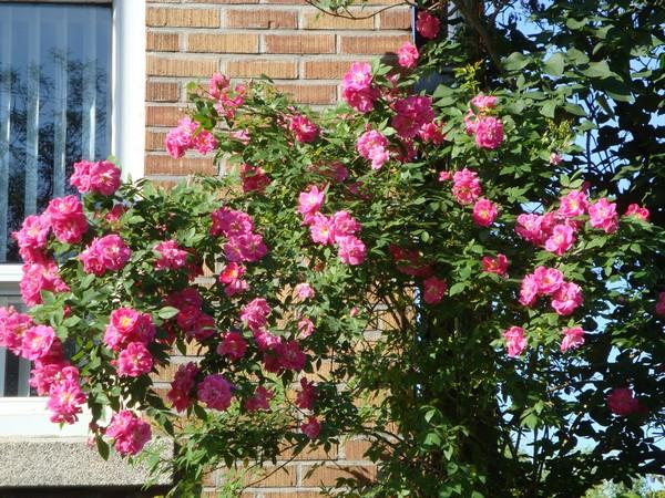 photo-133_roses.jpg