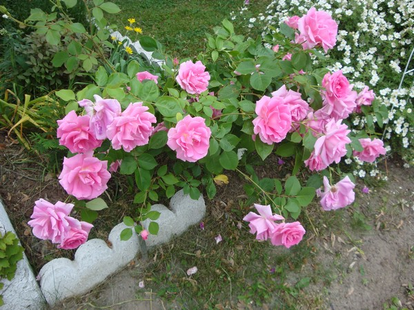 photo-154_roses.jpg