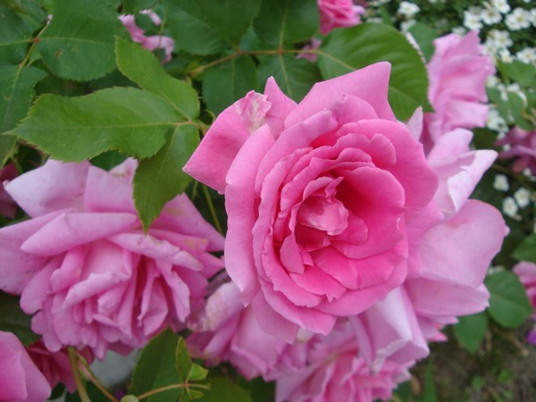 photo-155_roses.jpg