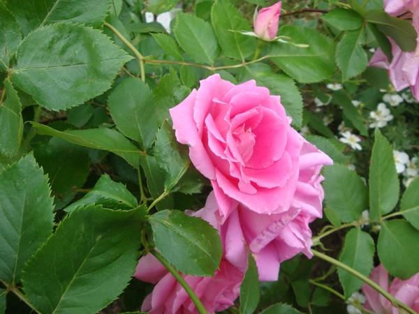 photo-159_roses.jpg