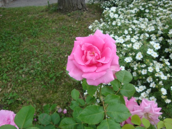 photo-160_roses.jpg