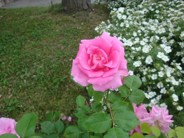 photo-160_roses.jpg