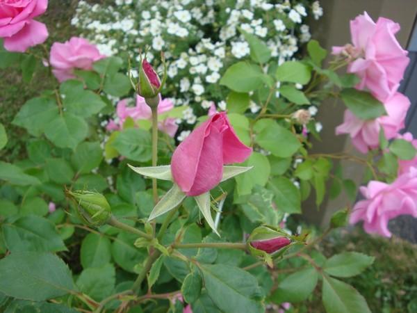 photo-161_roses.jpg