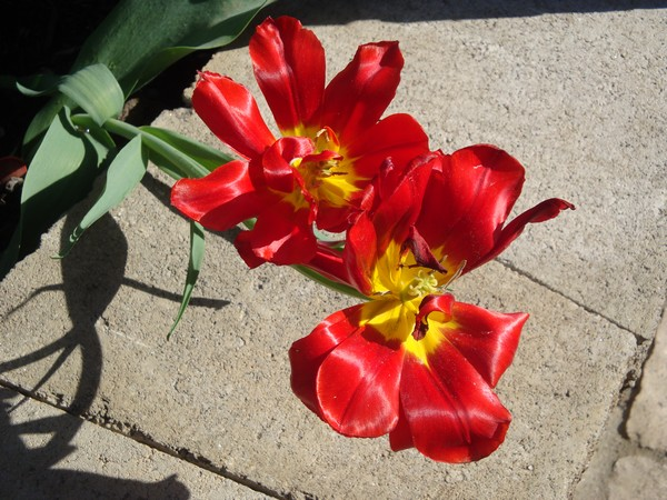 photo-191_tulipes.jpg