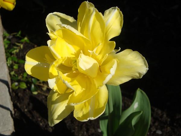 photo-193_tulipes.jpg