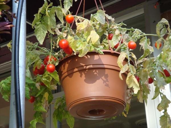 photo-187_tomates.jpg