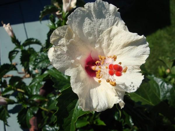 photo-785_hibiscus.jpg
