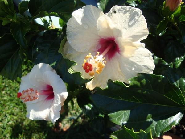 photo-786_hibiscus.jpg
