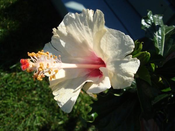 photo-787_hibiscus.jpg