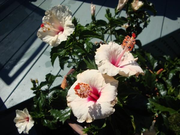 photo-788_hibiscus.jpg