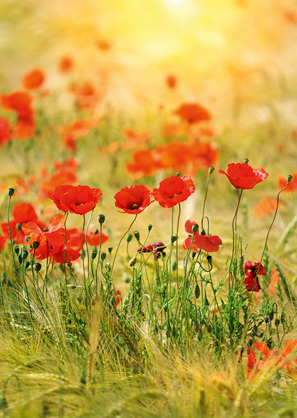 Poppies - Photo de Felinda