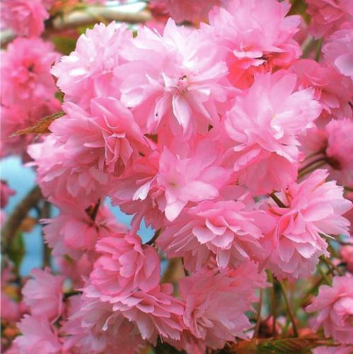 Cerisiers en fleurs - photo de Dave Conner