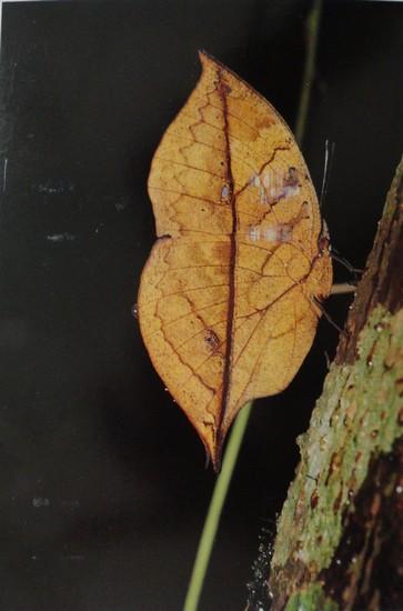 Kallima Inachus Formosana