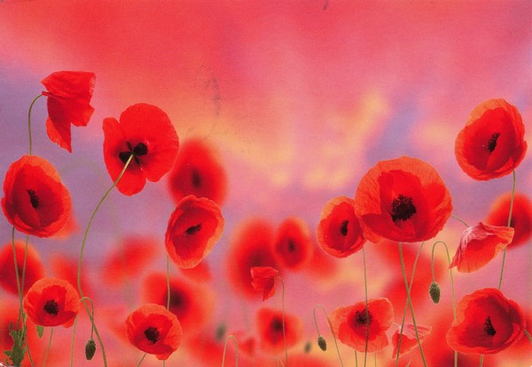 Coquelicots (Chromazone Publishing)