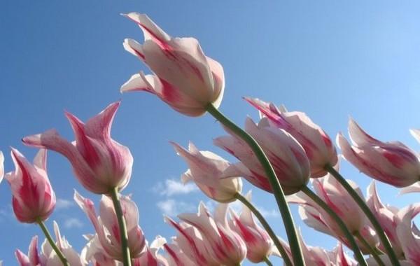 Les tulipes dansent